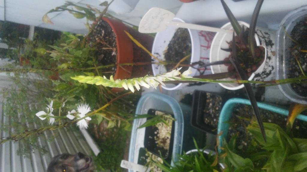Spiranthes vernalis, Pecteilus radiata, and Canis l. familiaris-0725180857-jpg