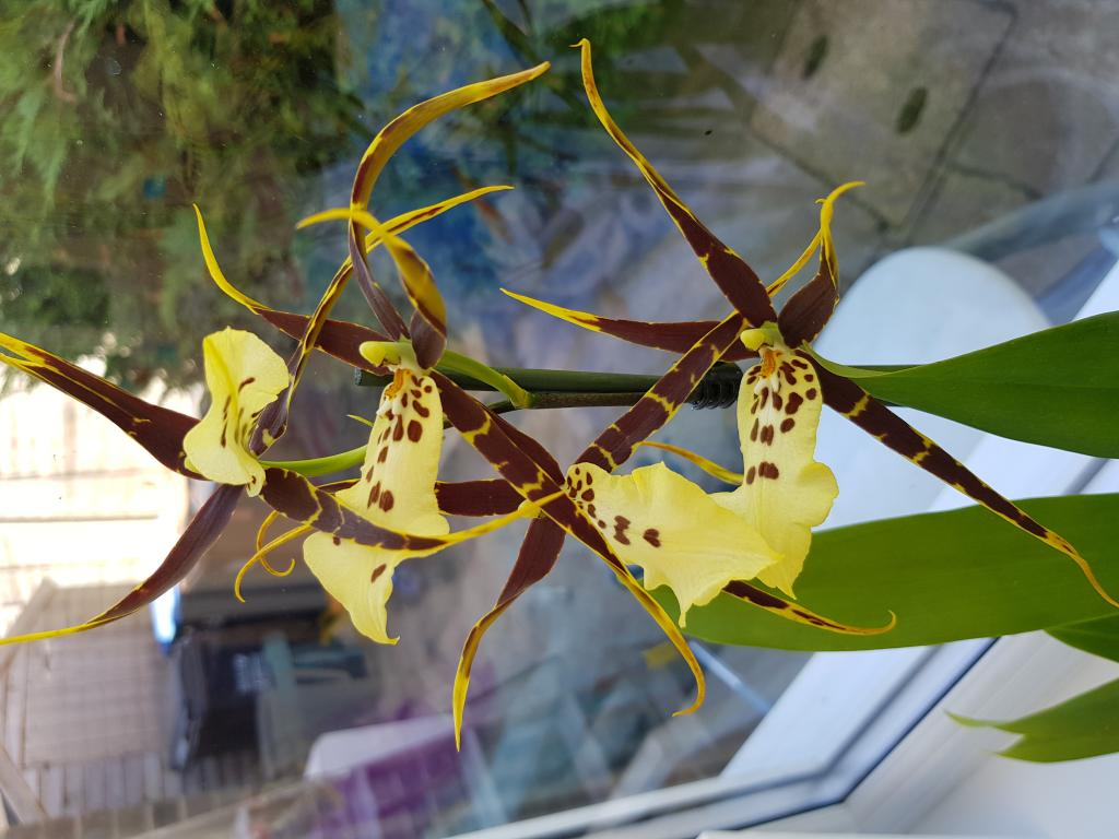 What is the proper name for this orchid?-20180728_122613-jpg