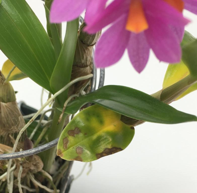 Wanted ASAP: Advice for halting sudden, virulent bacteria or fungus on Dendrobium-hibiki-disease_4010-jpg