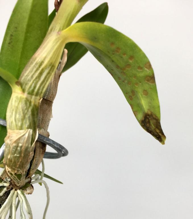 Wanted ASAP: Advice for halting sudden, virulent bacteria or fungus on Dendrobium-hibiki_4013-jpg