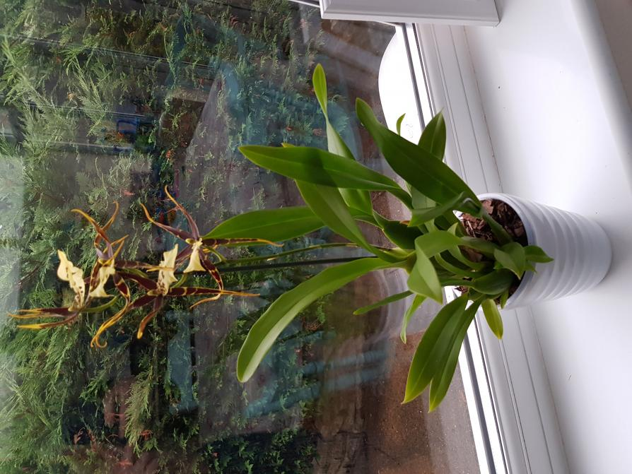 What is the proper name for this orchid?-20180729_201616-jpg