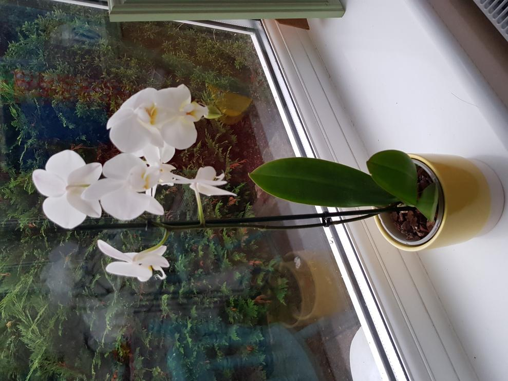 What is the proper name for this orchid?-20180729_201636-jpg