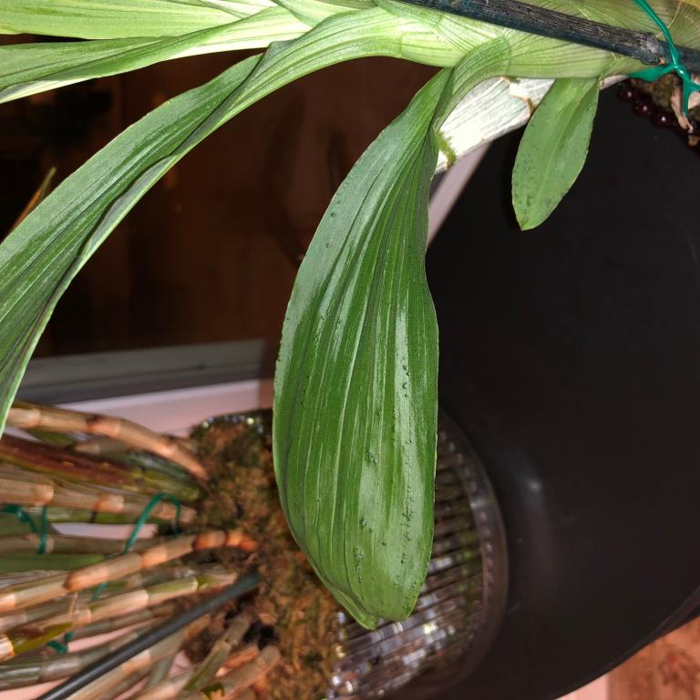 Bumps on leaves in Cyc warscewiczii a problem?-image002-jpg