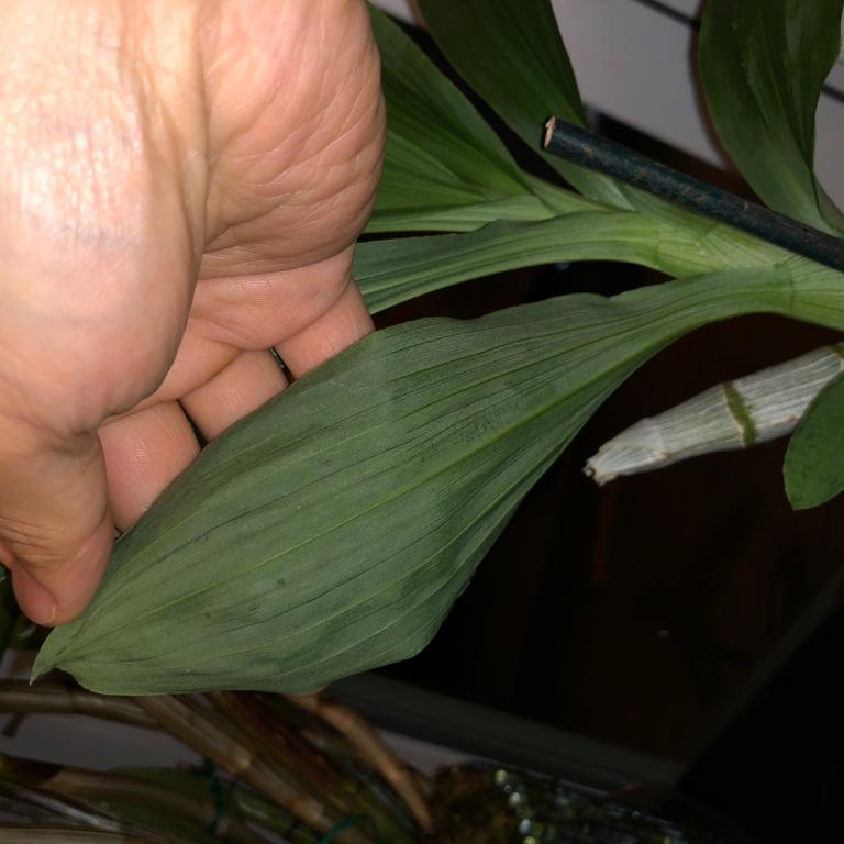 Bumps on leaves in Cyc warscewiczii a problem?-image001-jpg