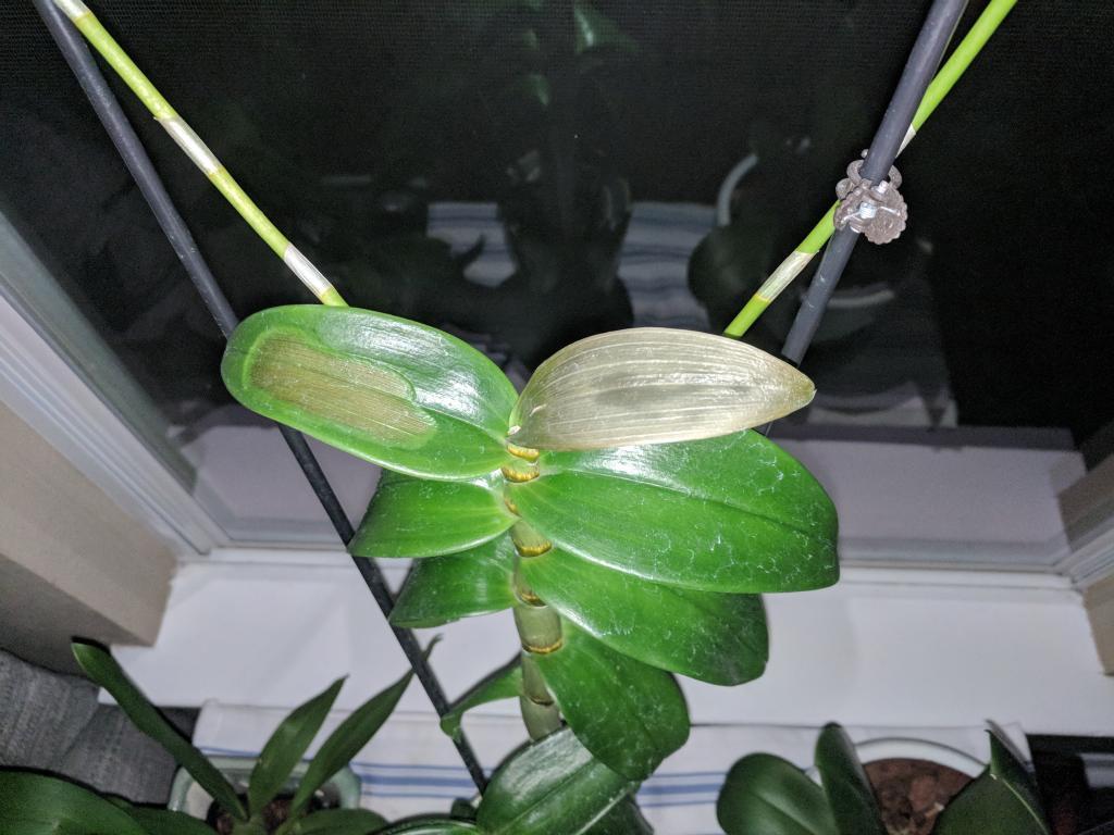Dendrobium Phalaenopsis: Brown Rot or Sun Damage?-img_20180731_060328-jpg