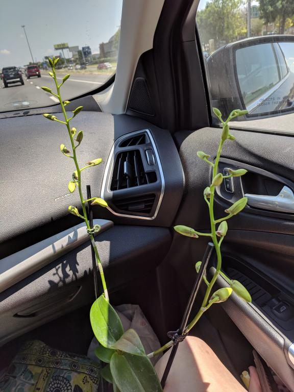 Dendrobium Phalaenopsis: Brown Rot or Sun Damage?-img_20180728_124545-jpg