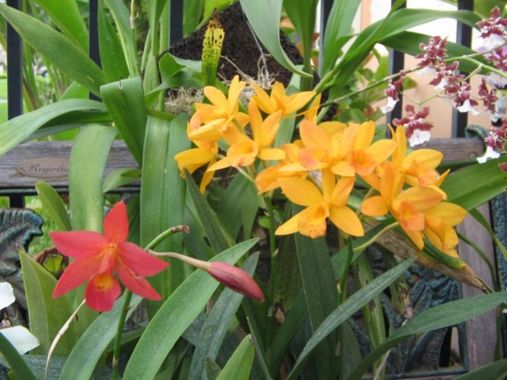 If you could only keep one orchid...which one?-otaara_hidden_gold_yellow_red_101106-jpg