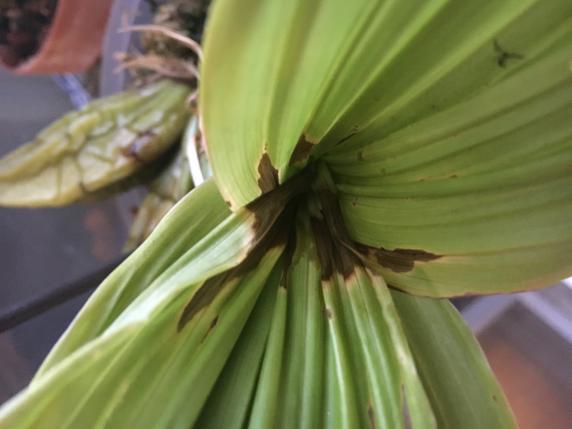 Lycaste leaves rotting-0fca02cf-a3a8-47db-b0fd-faae60e90664-jpg