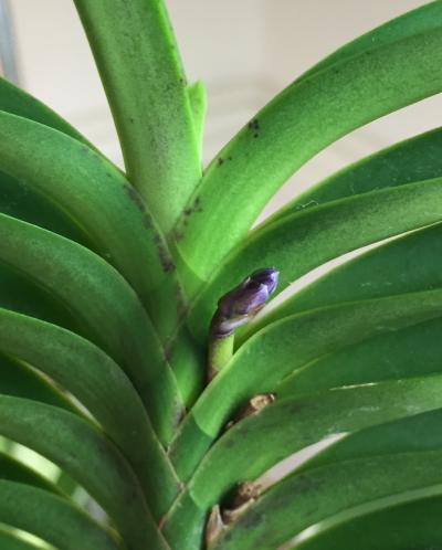 Neostylis Lou Sneary Bluebird-1a8800f0-d598-4001-b5fa-6a534ab56623-jpg