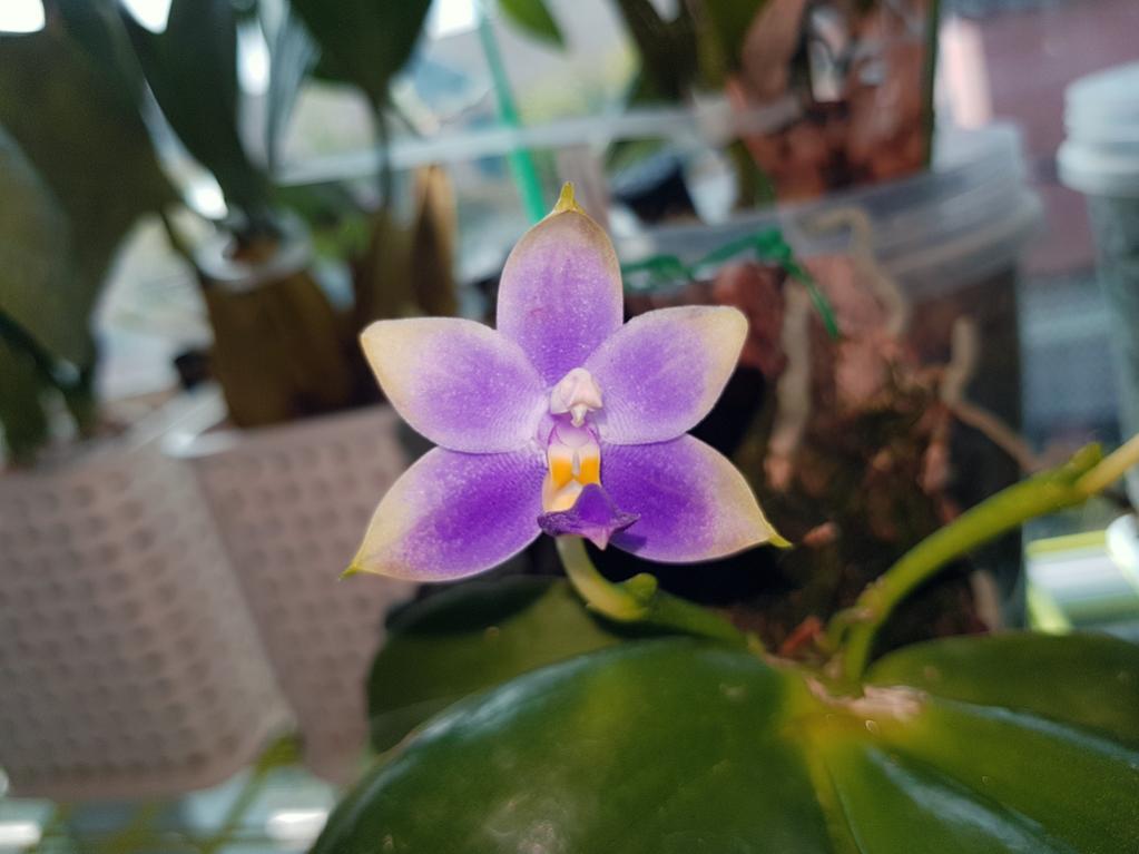 Phalaenopsis violacea var. coerulea-violacea-coerulea-2-jpg