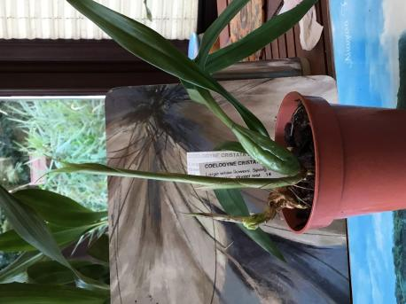 Tips for Coelogyne cristata and fimbriatum.-58f06379-d74c-4749-906d-cdc307e7841f-jpg