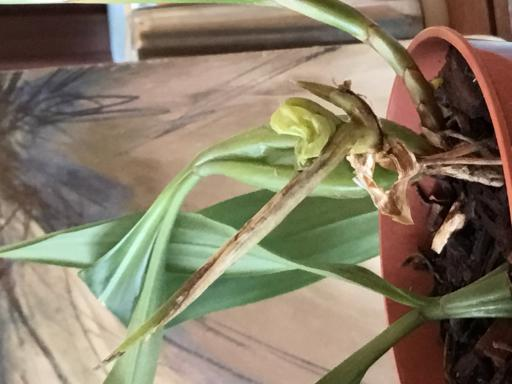 Tips for Coelogyne cristata and fimbriatum.-fbba7fa5-a88f-4bde-bd0a-78bdcd739be9-jpg