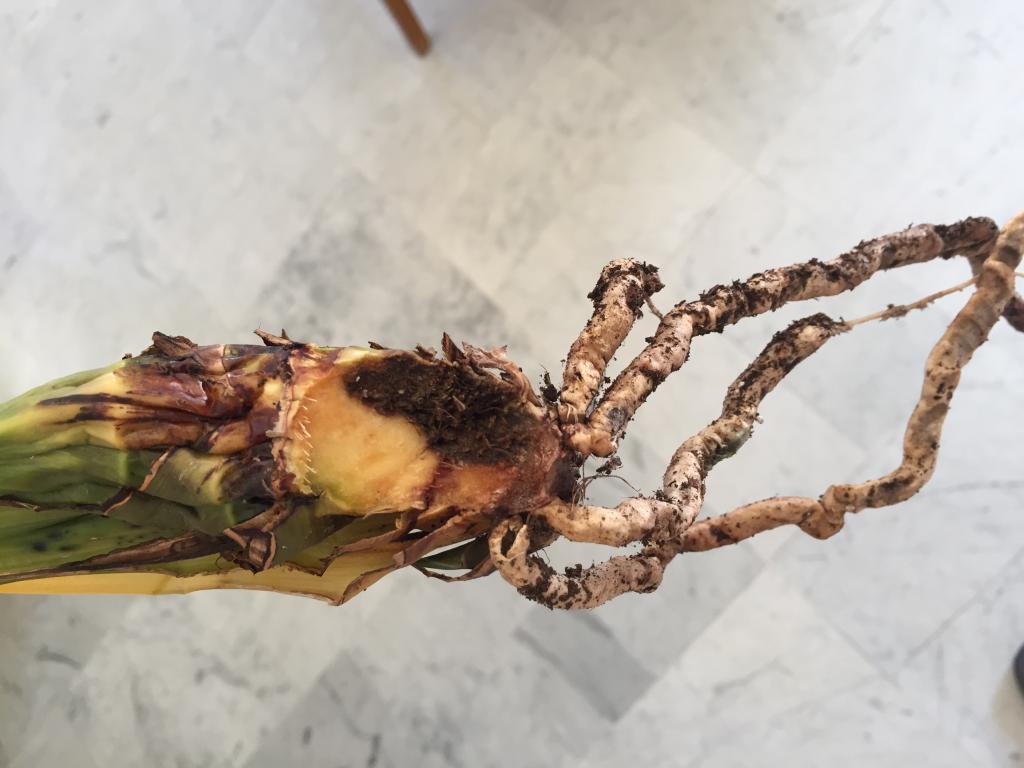 Cymbidium bulb rot and yellowing leaves in Semi-Hydro.-img-3510-jpg