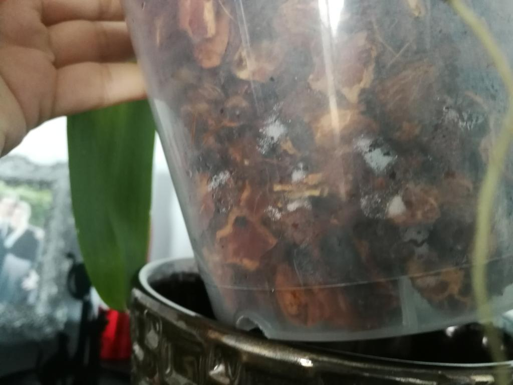 Mold or mealybugs on phal? Sequence of problems with new orchid-img_20180806_110758-jpg
