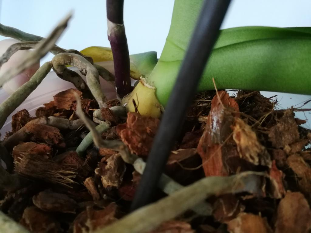 Mold or mealybugs on phal? Sequence of problems with new orchid-img_20180806_110811-jpg