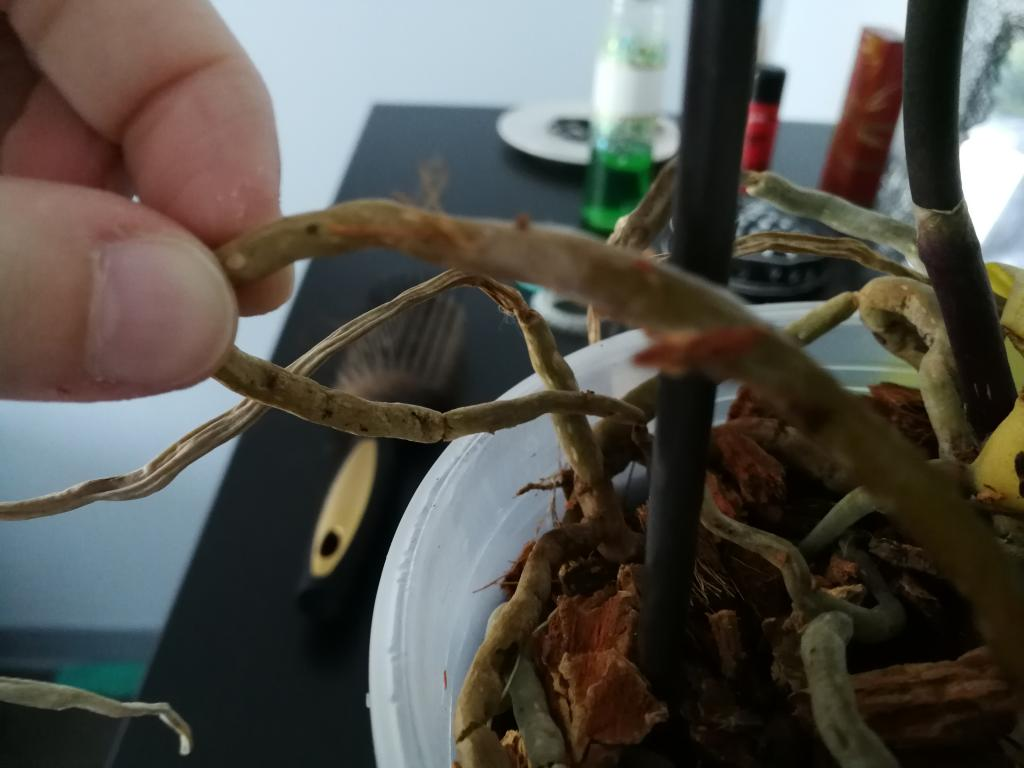 Mold or mealybugs on phal? Sequence of problems with new orchid-img_20180806_110831-jpg
