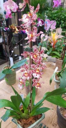 Newbie Questions - Oncidium, Dendrobium, Paphiopedilum-received_10209968021116885-jpg