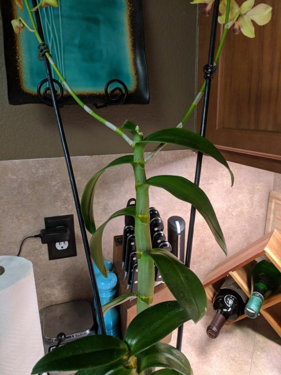 Newbie Questions - Oncidium, Dendrobium, Paphiopedilum-img_20180806_163038-jpg