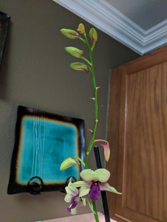Newbie Questions - Oncidium, Dendrobium, Paphiopedilum-img_20180806_163053-jpg