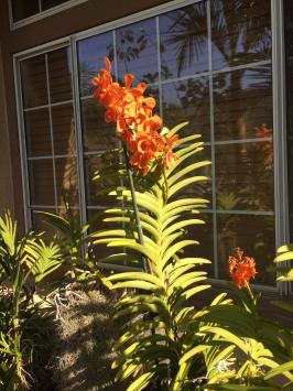 Vanda Outdoors in Southern California-f211f822-9ced-4900-b7bf-0dfad41e18b7-jpg