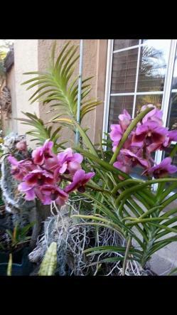 Repost: Growing Vandas Outdoors in Southern California-fdea3f4c-e1f3-48b2-9de8-f4ba4b8ac63c-jpg