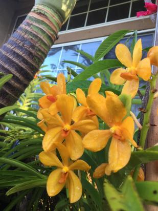 Repost: Growing Vandas Outdoors in Southern California-058e1022-639d-42f2-affd-d41a180afb81-jpg