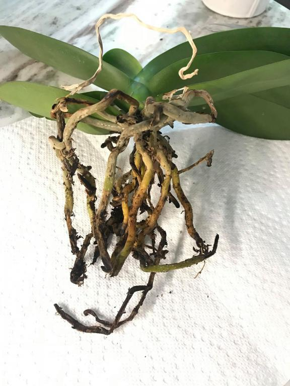 Opinions on These Two Phals Roots-phal-1-2-jpg