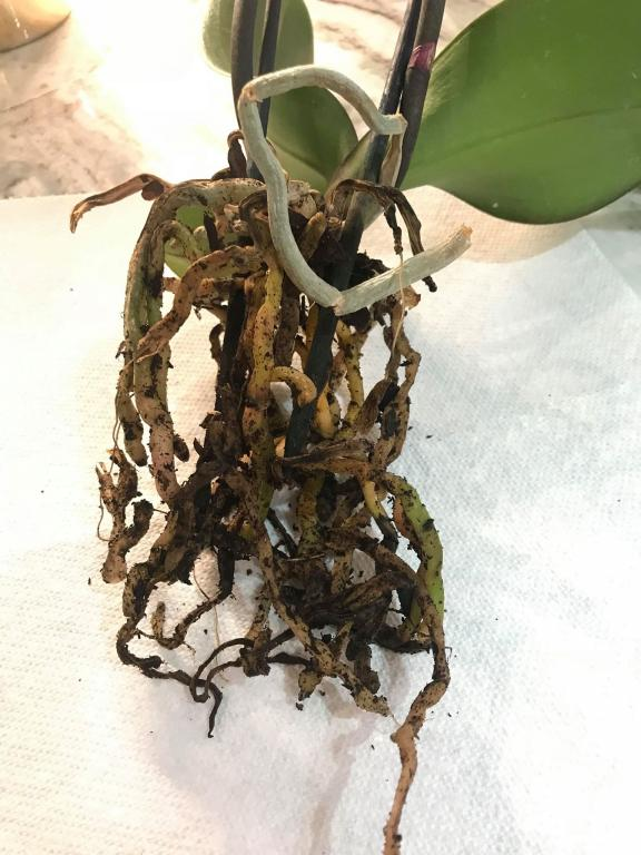 Opinions on These Two Phals Roots-38689631_298479880927009_3487681630976344064_n-jpg