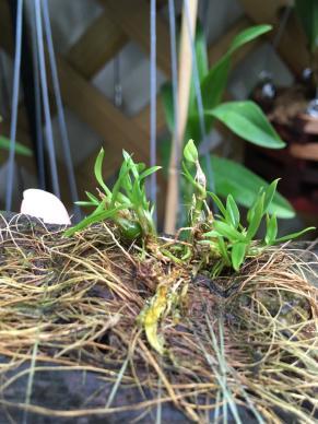 Dendrobium hekouense care?-5565103a-c31d-484f-89eb-7fe33ee08092-jpg
