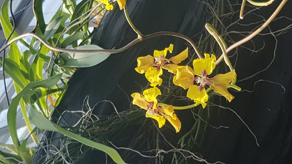 Orchid ID needed, much appreciated!-20180723_130113-jpg