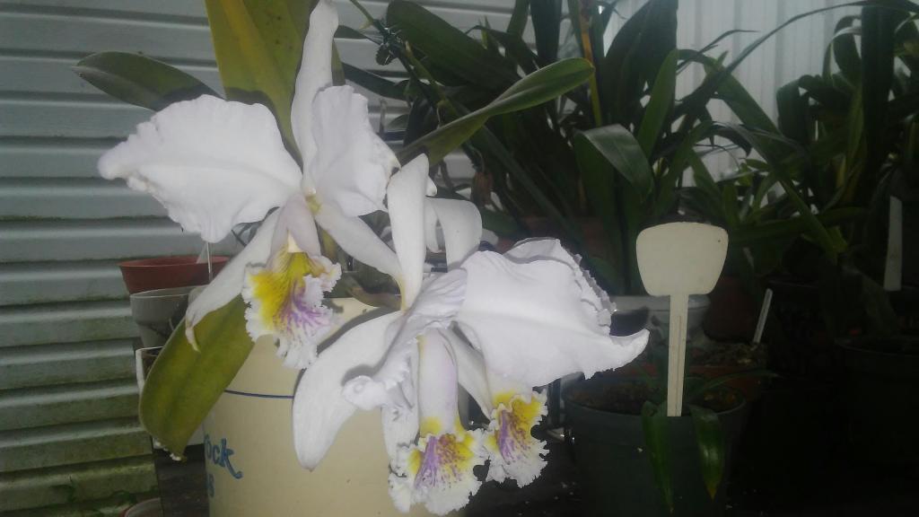Cattleya mossiae var coerulea 'SVO' x 'Good Lip'-0803181921-2-jpg
