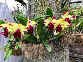 Sick Cattleya with rot bulbs-received_2163899320495182-800x600-jpg