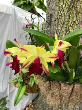Sick Cattleya with rot bulbs-received_493166777813421-600x800-jpg