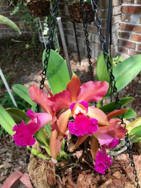 Sick Cattleya with rot bulbs-received_258194121571694-600x800-jpg