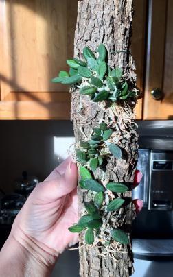 Drockrillia cucumerinum flowering-d905d64a-970a-47e7-9632-d0d62d458c2b-jpg