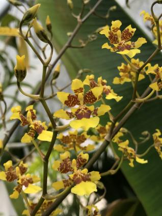 Suggestion for a large vigorous free flowering Onc.-9e452f0d-04de-43dd-8954-b4d9d50d0c35-jpg