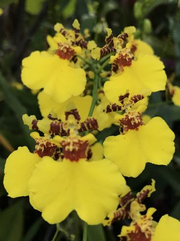 Suggestion for a large vigorous free flowering Onc.-a7683caf-ecd0-44b6-90ca-432f5893bc52-jpg