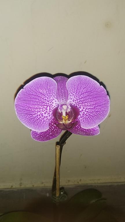 help!!my phalenopsis orchid flower is closing..-xs_1535385552565-jpg