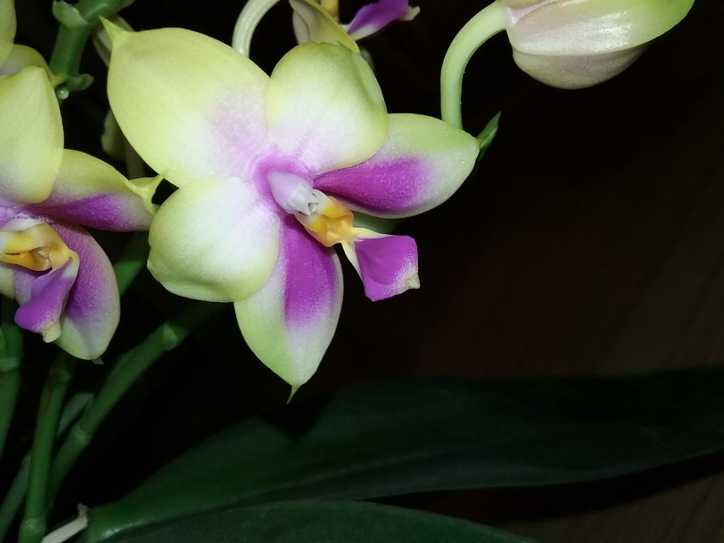 "Phal Grosbeak ""sweet fragrance""-20180812_093227-jpg"