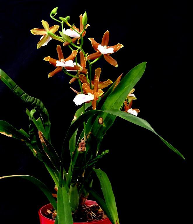 Miltonia candida x binotii-orchids-miltonia-candida-binotti-jpg