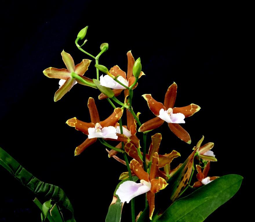 Miltonia candida x binotii-orchids-miltonia-candida-binotti-001-jpg