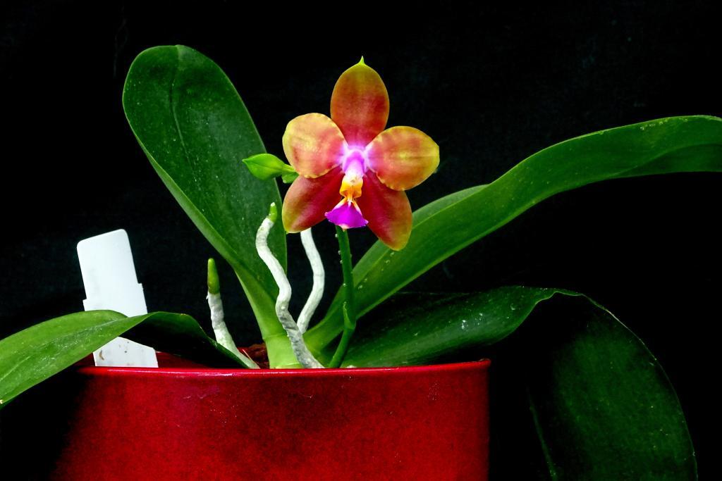 Phalaenopsis Joshua Irwin Ginsberg-orchids-phalaenopsis-joshua-irwin-ginsberg-jpg