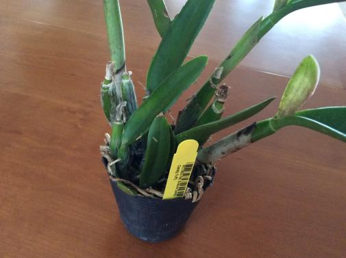 Cattleya arrived with chopped off, pitted leaves... what would you do?-9976470b-518c-4d1f-bc4e-3f3f278bce03-jpg