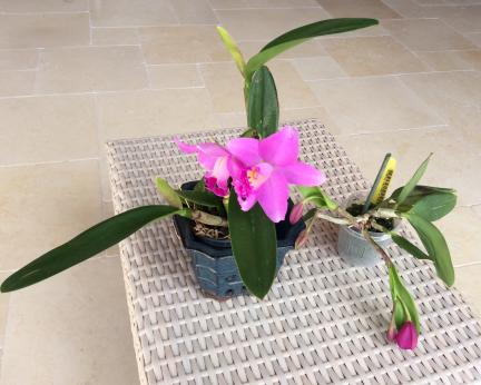 Cattleya arrived with chopped off, pitted leaves... what would you do?-c8611161-fc6c-4b72-a497-1af39b068b4b-jpg