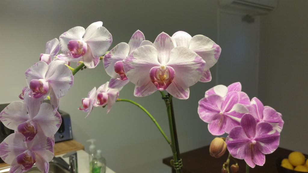 Phalaenopsis bloom abnormality-1536141683448-1625476366-jpg