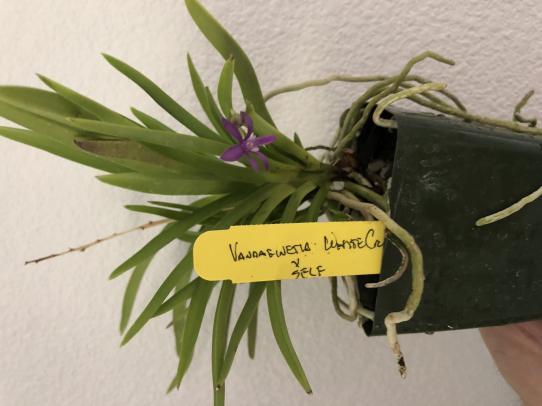Vandofinetia White Crane-f5134381-1407-4ab7-8da8-26d2c8bd2870-jpg