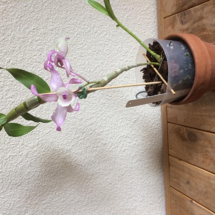 Does anyone know how to pot a previously mounted dendrobium?-img_1514-jpg