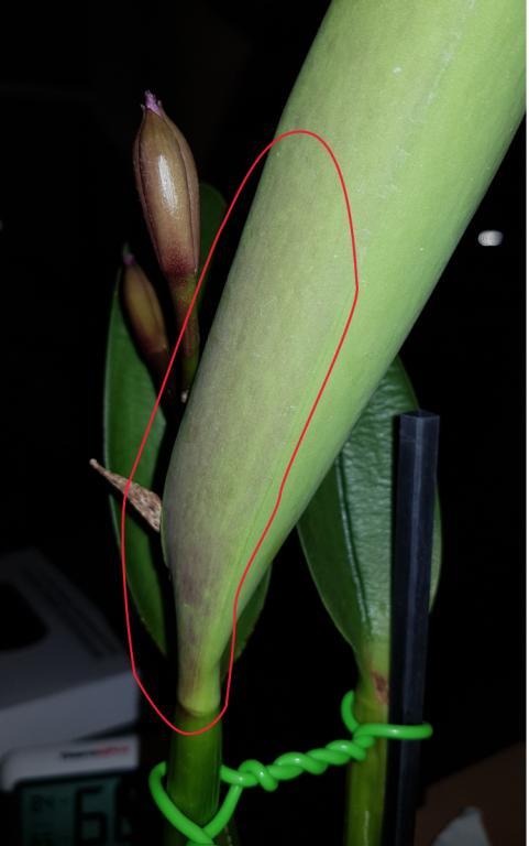 Is this Fusarium on dormant Cattleya eyes-img3-jpg
