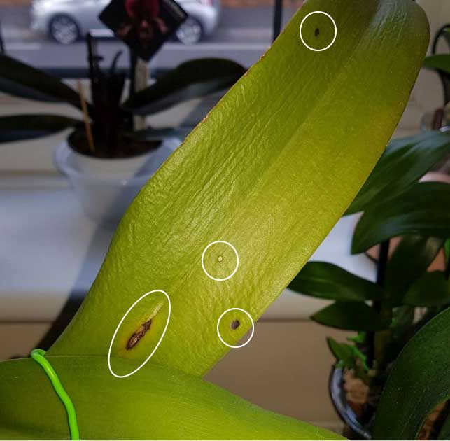 Dehydrated Active Growing Cattleya - what to do?-wrinkleleaves-scars-jpg