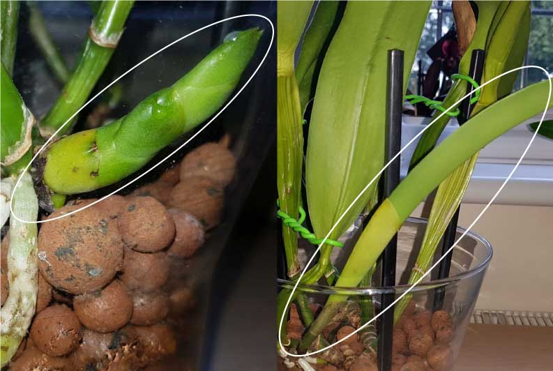 Dehydrated Active Growing Cattleya - what to do?-newgrowth-whatthedifference-jpg